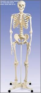 insan-iskeleti